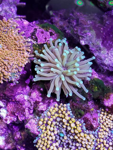Maryland   One Weekend Sale   Sun coral, Euphyllia ...
