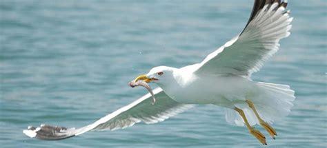 Más de un 10 % de las aves marinas muertas tienen ...