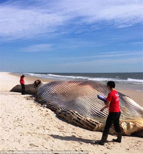 Massive 50 ft dead whale washes ashore in Long Island amid ...