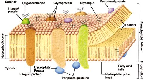 Medical Pictures Info – Cell Membrane