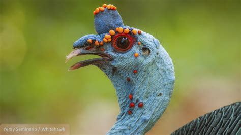 Meet the Ocellated Turkey – Cool Green Science