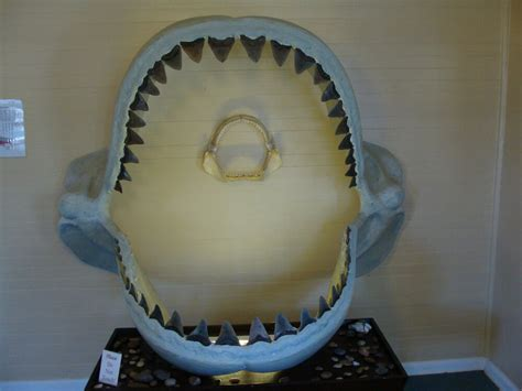 MEGALODON SHARK JAW tooth teeth mako great white fossil ...