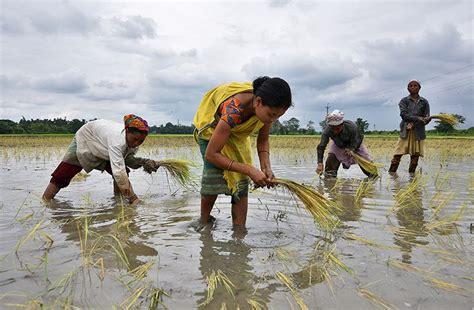 Mejoran los cultivos de la  revolución verde : mayor ...