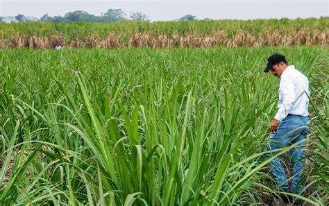 Mejoran variedad de caña de azúcar resistente a las ...