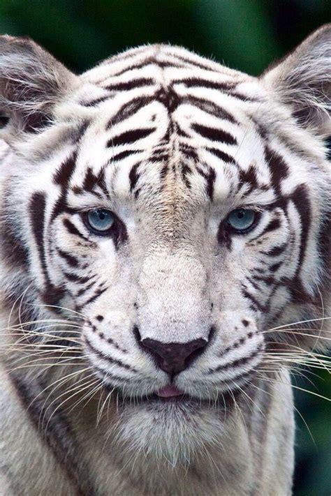 Mejores 51 imágenes de TIGRE DE BENGALA  Bangladesh, India ...