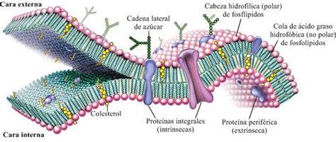 Membrana Celular: [Estructura y Definición] — Steemit