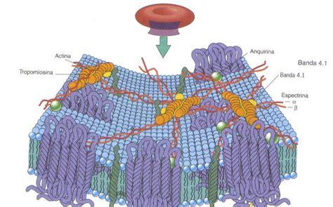 Membrana celular: Membrana del eritrocito