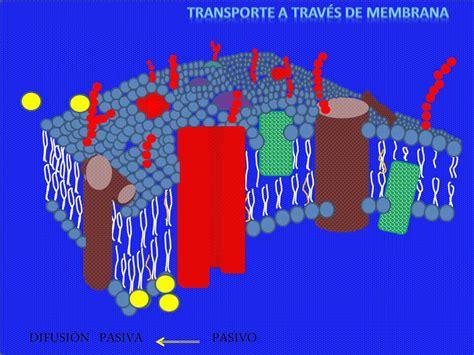 membrana celular.wmv  rendón mireya    YouTube