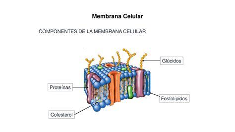 Membrana Celular y mecanismos de transportes   Docsity
