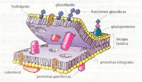 Membrana celular y sus partes y funciones