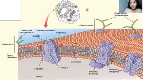 membrana citoplasmática. función y estructura   YouTube