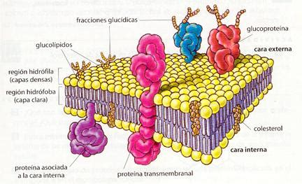 Membrana plasmática Gema