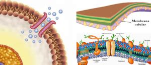 Membrana Plasmática: ¿Qué es? Composición, Función ...