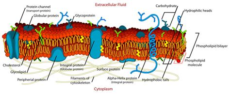 Membrane protein   The School of Biomedical Sciences Wiki