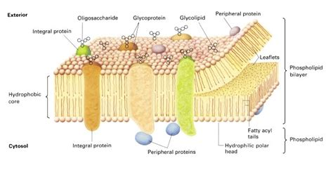 Membrane proteins   BS 14 Cell Biology