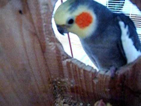 Mi ninfa Kiko hablando con su cría   25 días.AVI   YouTube