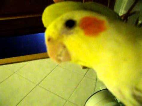 mi ninfa puky canta y habla  cockatiel, ninfa, car   YouTube