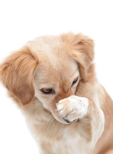 Mi Perro Se Echa Muchos Gases Apestosos   Noticias del Perro