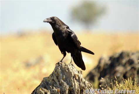 Mi Rincón Natural: CUERVO CORVUS CORAX El cuervo común ...