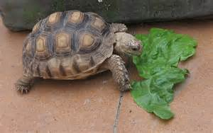 Mi tortuga Kroni | Cómo le va la vida .com