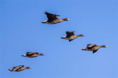 Migração de aves   Biologia   InfoEscola