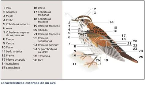 MIGRACIÓN DE LAS AVES Características externas de un ave ...