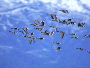 Migración de las aves, tipos o ejemplos de especies ...