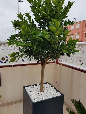 MIL ANUNCIOS.COM   Árboles en macetas para terrazas