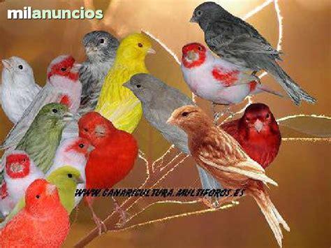 MIL ANUNCIOS.COM   Canarios de varios colores