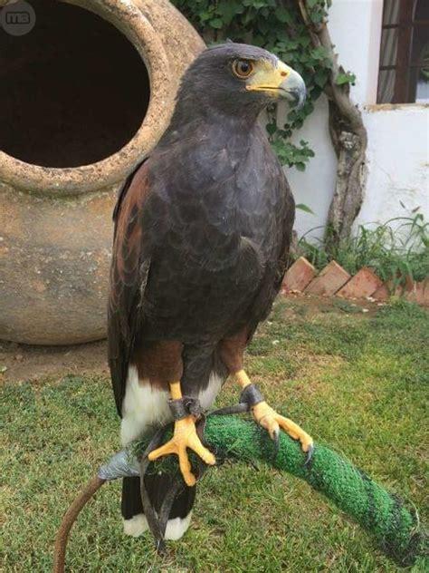 MIL ANUNCIOS.COM   Centro de Cría de aves rapaces