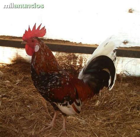 MIL ANUNCIOS.COM   Gallos en Galicia. Venta de gallos de ...
