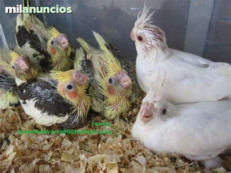 MIL ANUNCIOS.COM   Mascotas de Ninfas te 689617008 Valencia