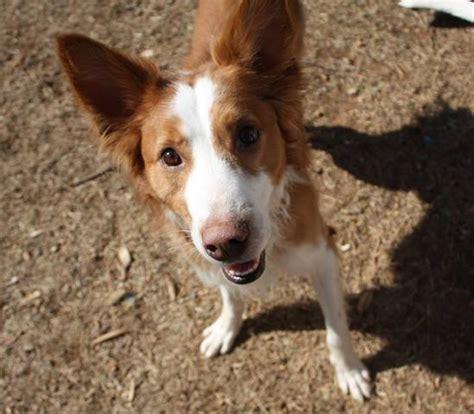 MIL ANUNCIOS.COM   RISKETO perro mediano adopción valencia