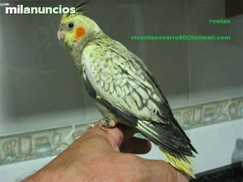 MIL ANUNCIOS.COM   Vendo: Mascotas de ninfas tel.689617008