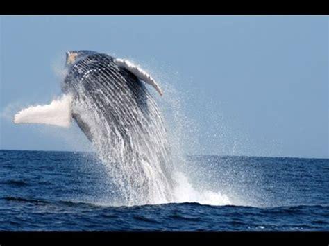 Mira el maravilloso espectáculo de las ballenas jorabadas ...