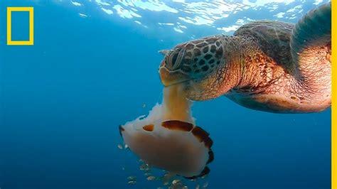 Mira esta TORTUGA marina DEVORAR una MEDUSA como si fuera ...