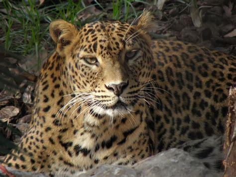 Mirada Natural   Panthera onca, Animales carnivoros, Jaguar