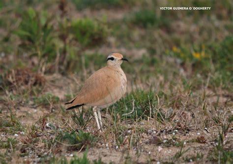 Mis imágenes de aves: CORREDOR SAHARIANO EN TARIFA
