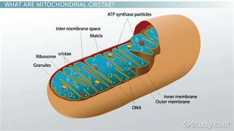 Mitochondrial Cristae: Definition & Function   Video ...