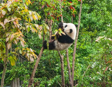 Mitochondrial DNA of 22,000 Year Old Giant Panda Reveals ...
