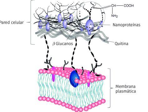 Modelo de la estructura de la pared celular de las ...