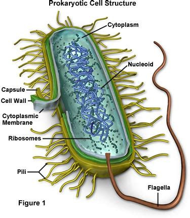 Molecular Expressions Cell Biology: Bacteria Cell Structure