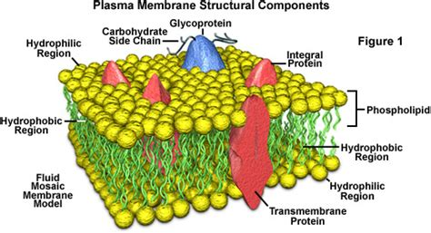 Molecular Expressions Cell Biology: Plasma Membrane