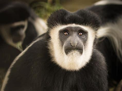 Monkey, Black and White Colobus   Safari West