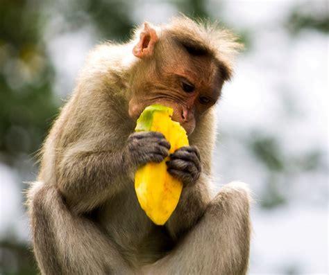 Monkey Eating Mango by Hema | Animals, Mammals, Animal ...