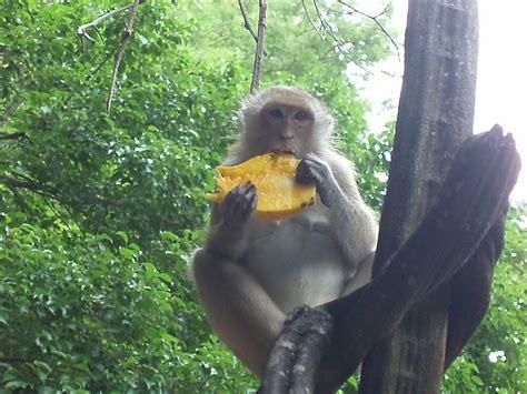 monkey+eating+mango  image