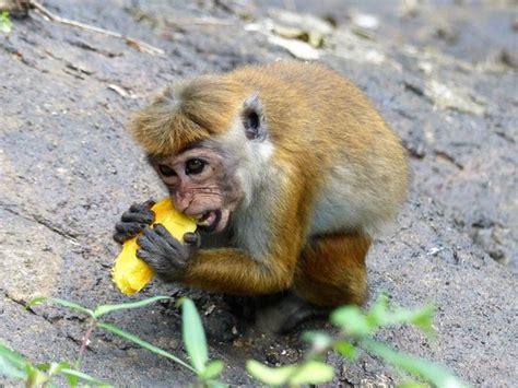 Monkey eating mango   Picture of Chamila Tours, Negombo ...