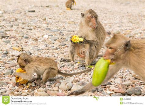 Monkey Eats Raw Mango Stock Photo   Image: 43462650