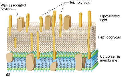 Morfología Bacteriana: Estructura de la pared celular de ...