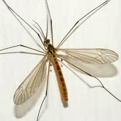 Mosquito gigante: Todo lo que debes saber sobre estas especies